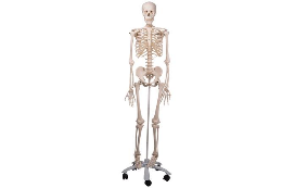 3B Scientific Full-Size Skeletons