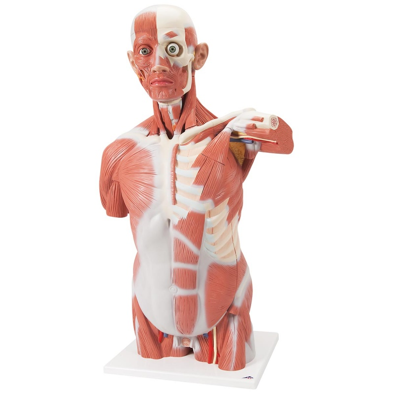 Life Size Muscle Torso 27 Part Medicalsupplies