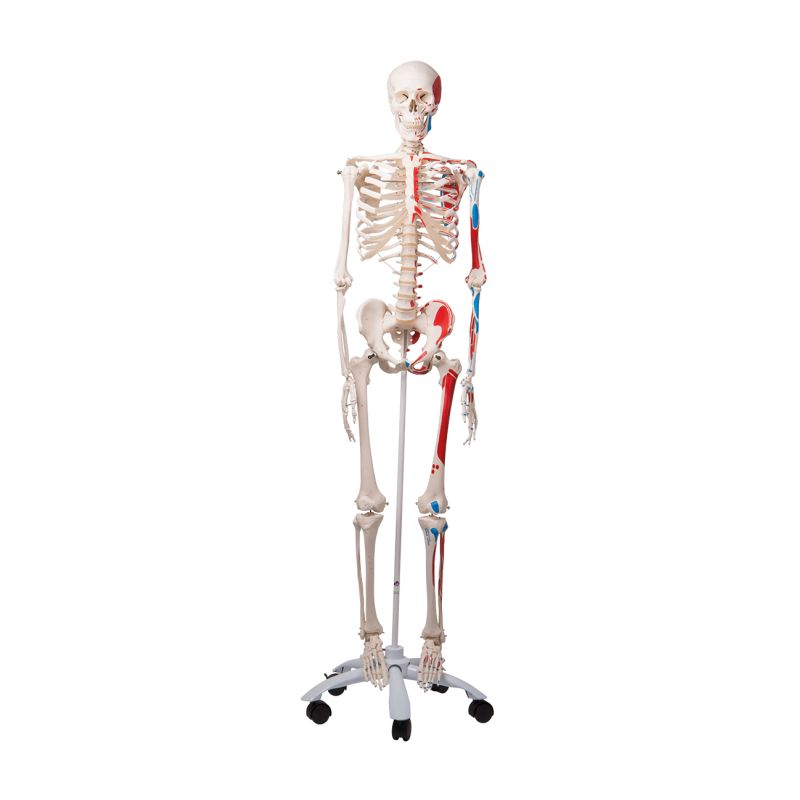 Max The Classic Muscle Skeleton A11 Medicalsupplies