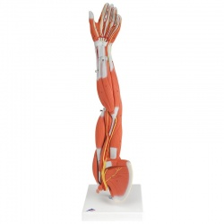 3/4 Life-Size Muscle Arm Model (6-Part)