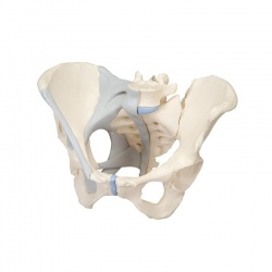 3-Part Female Pelvis Model with Ligaments