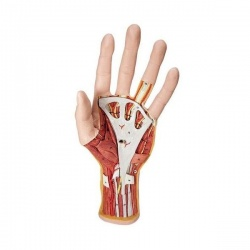 3-Part Internal Hand Structure Model