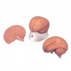 2-Part Introductory Brain Model