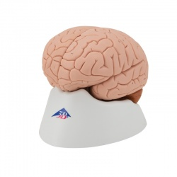 3B Scientific Brain Model (4-Part)
