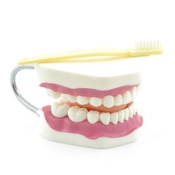 Dental Care Model with Toothbrush