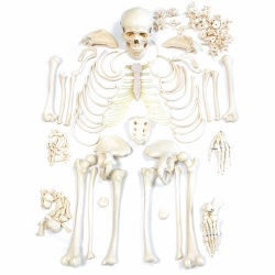 Disarticulated Human Model Skeleton