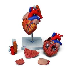 Heart with Oesophagus And Trachea 2 Times Life Size Model (5 Part)
