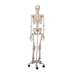 3B Scientific A10 Anatomical Model Skeleton Stan