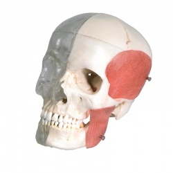 BONElike Half Transparent Human Skull Model (8-Part)