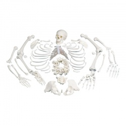 Disarticulated Full Skeleton