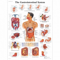 Gastrointestinal System Chart