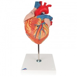 Giant Heart Model (4-Part)