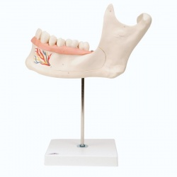 Half Lower Jaw Model, 3 Times Full-Size (6-Part)