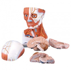 Head and Neck Musculature Model (5-Part)