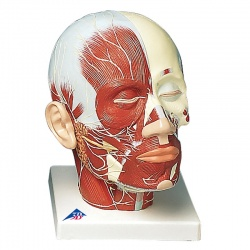 Head Musculature Model with Nerves