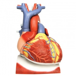Heart on Diaphragm Model, 3 Times Life-Size (10-Part)