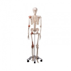 Leo the Classic Ligament Skeleton A12