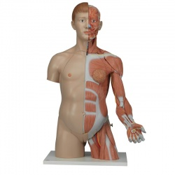 Life-Size Dual Sex Torso with Muscle Arm (33-Part)