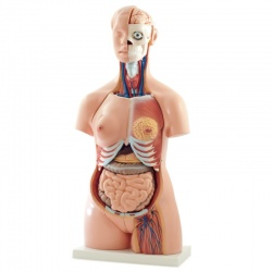 Lifesize Torso Human Anatomy Model
