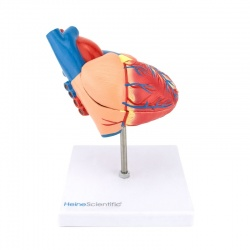Lifesize Two-Part Human Heart Model