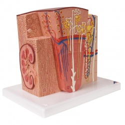 MICROanatomy Kidney Model