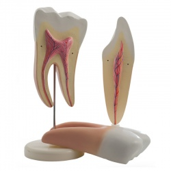 Molar and Incisor Tooth Models
