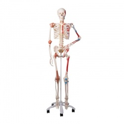 3B Scientific GmbH Skeleton Model Sam the Super Skeleton A13