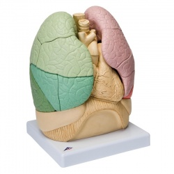 Segmented Lung Model