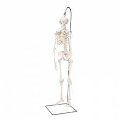 Shorty the Mini Skeleton