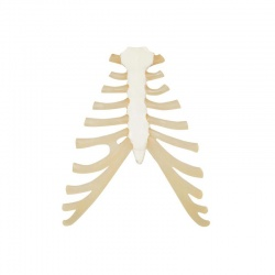 Sternum with Rib Cartilage Replica