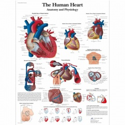 The Human Heart Chart (Paper)