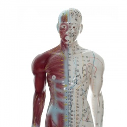 Two-Sided Acupuncture Model with Muscles