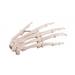 Wire Mounted Hand Skeleton