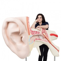 World's Largest Ear Model (3-Part)